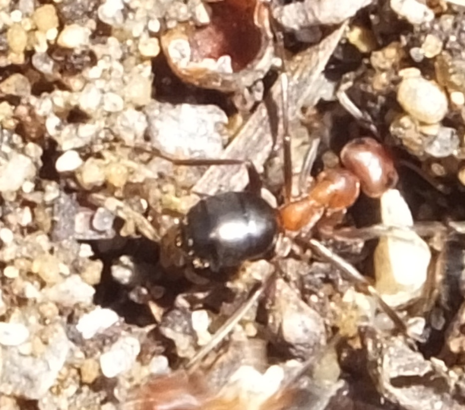 Allegheny mound ant