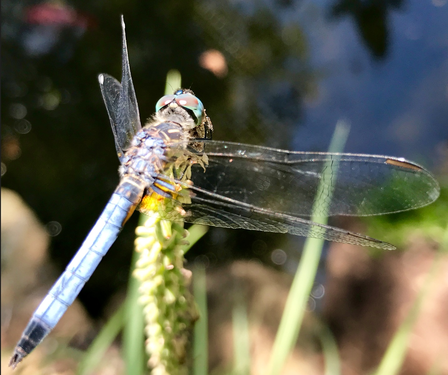 Blue Dasher (<i>Pachydiplax longipennis</i>)