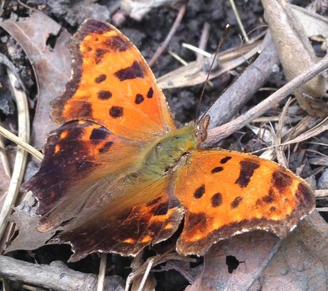 Eastern Comma Butterfly (<i>Polygonia comma</i>)