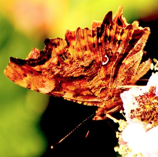 Comma Butterfly (<i>Polygonia c-album</i>)
