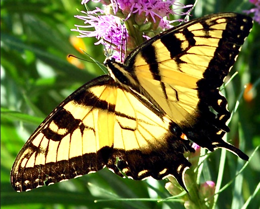Eastern Tiger Swallowtail (<i>Papilio glaucus</i>)