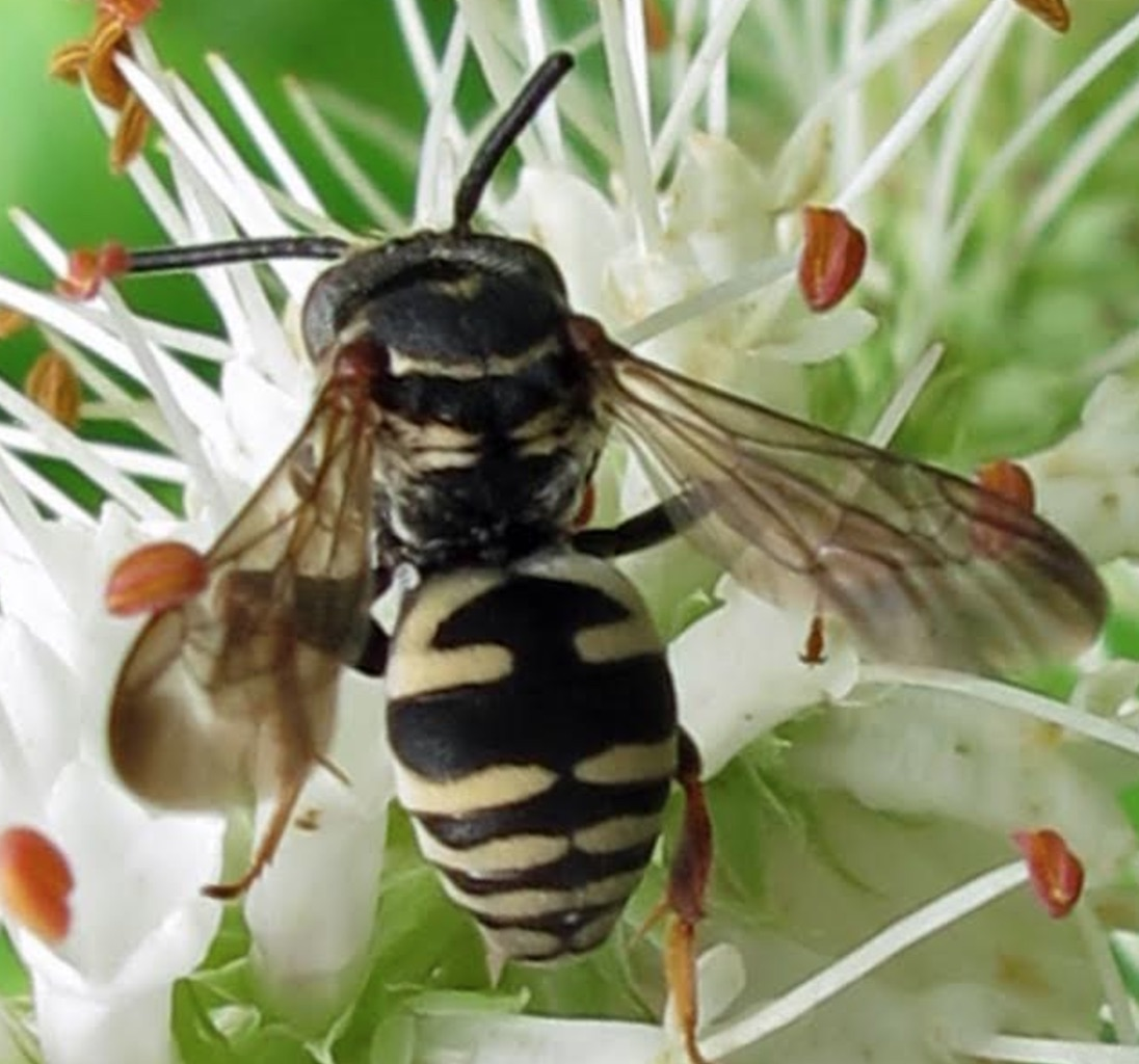Cuckoo bee (Epeolus canadensis)