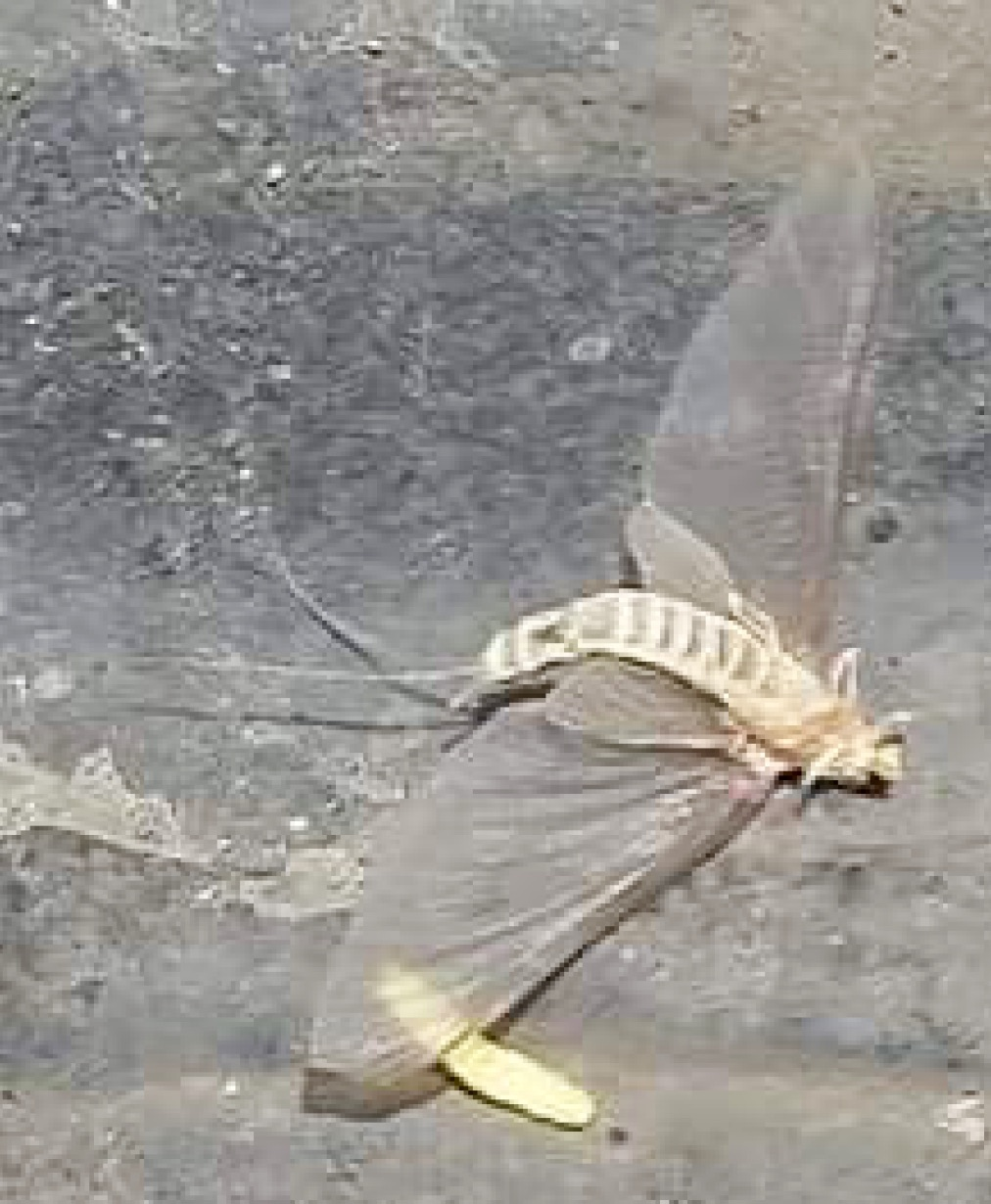 Adult mayfly
