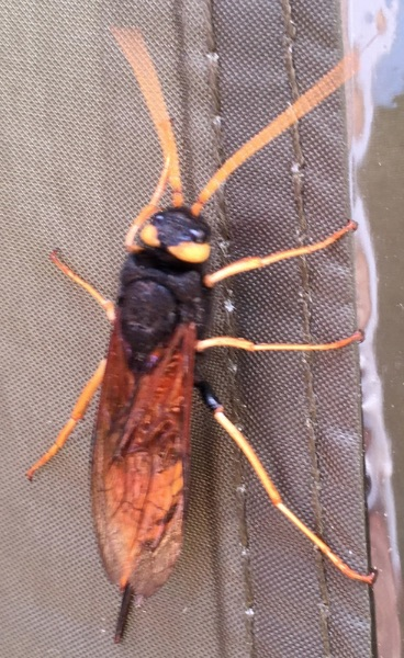 Giant Wood Wasp or Greater Horntail, Urocerus gigas