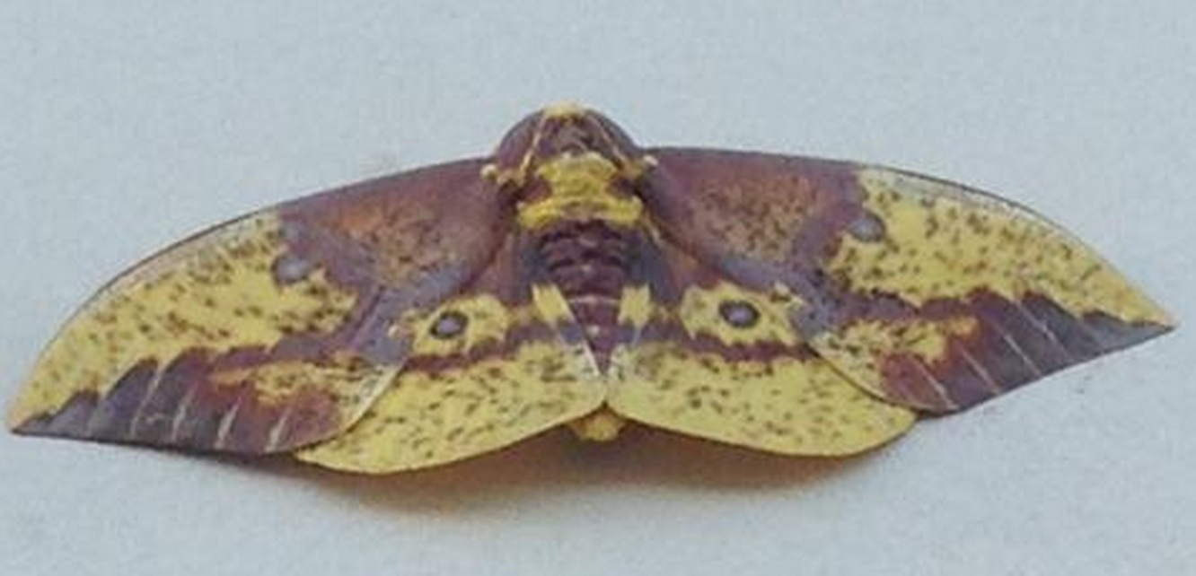 Imperial Moth (<i>Eacles imperialis</i>)