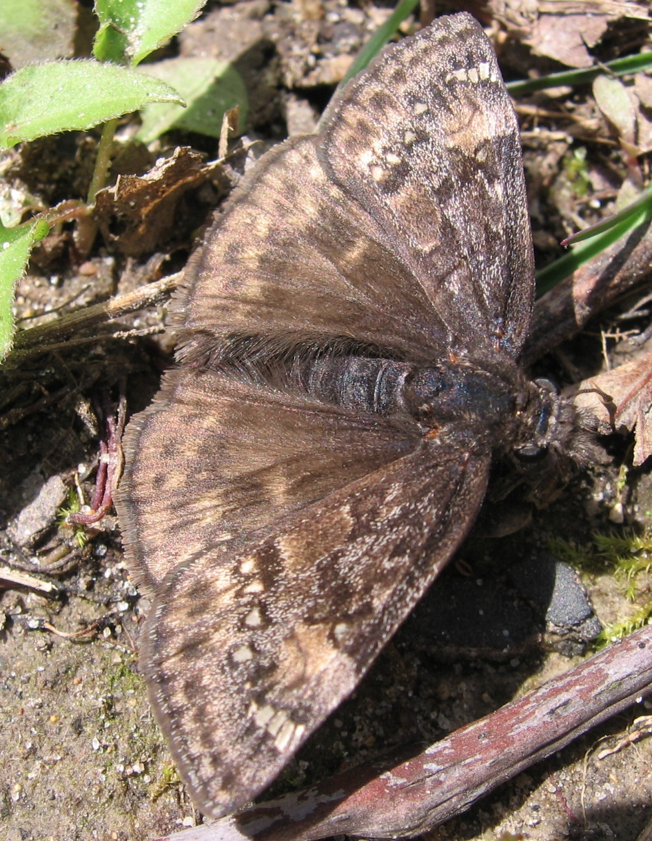 Juvenal&rsquo;s Duskywing (<i>Erynnis juvenalis</i>)