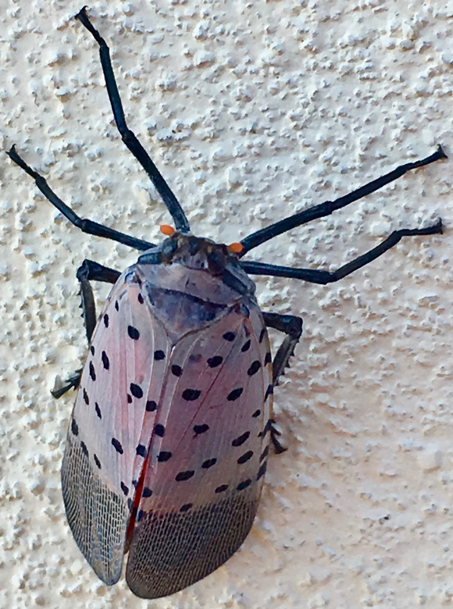 Spotted lanternfly (Lycorma delicatula)