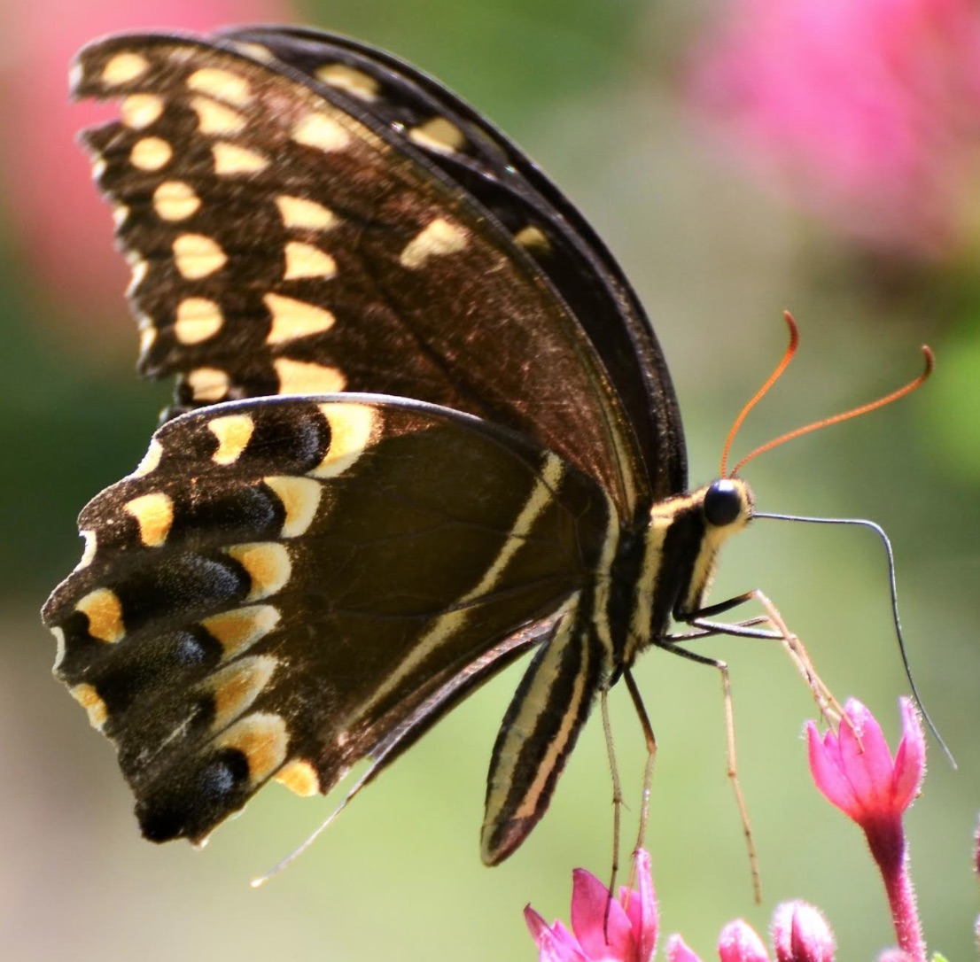 Palamedes Swallowtail (<i>Papilio palamedes</i>)