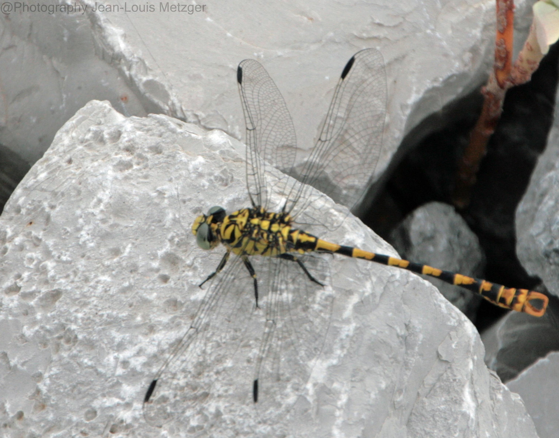 Small Pincertail (Onychogomphus forcipatus)