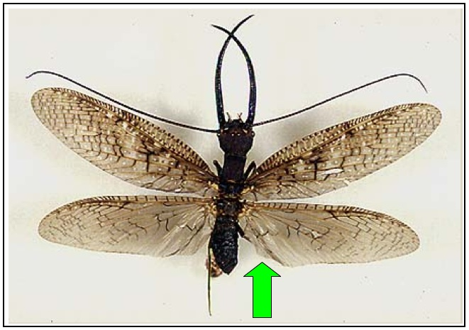 Pleated Hind Wing