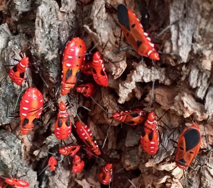 Red cottonstainer bugs, also known as Red Cotton Bugs (Dysdercus cingulatus)