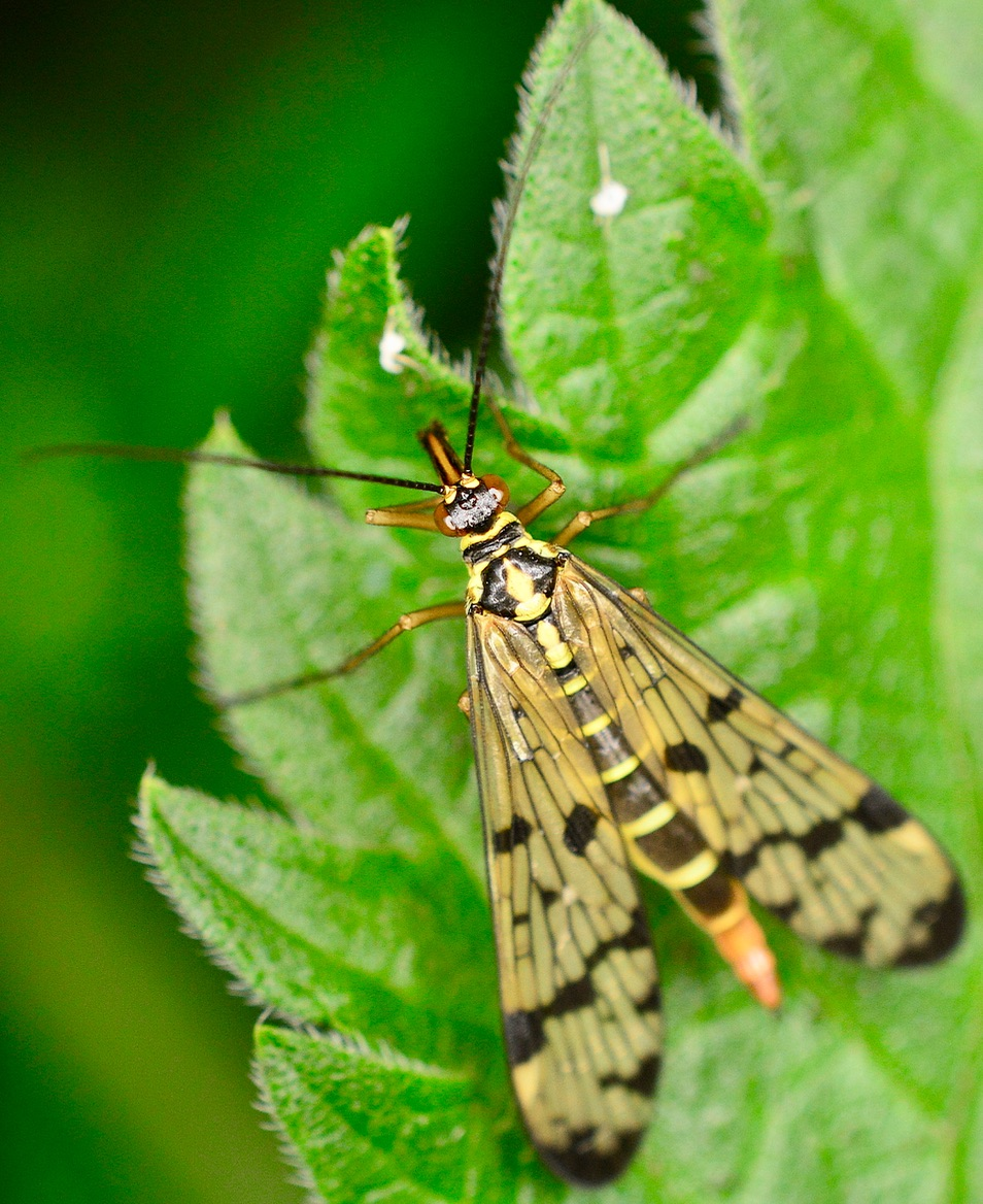 Scorpionfly, Panorpa spp.