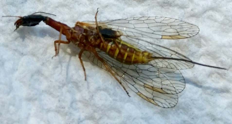 Closeup of Snakefly
