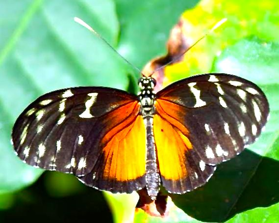 Tiger Longwing (<i>Heliconius hecale</i>)