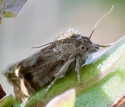 Tortricid Moth (in the genus Eucosma)