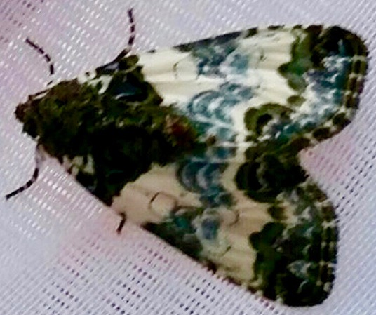 Tufted Bird Dropping Moth (Cerma cerintha)
