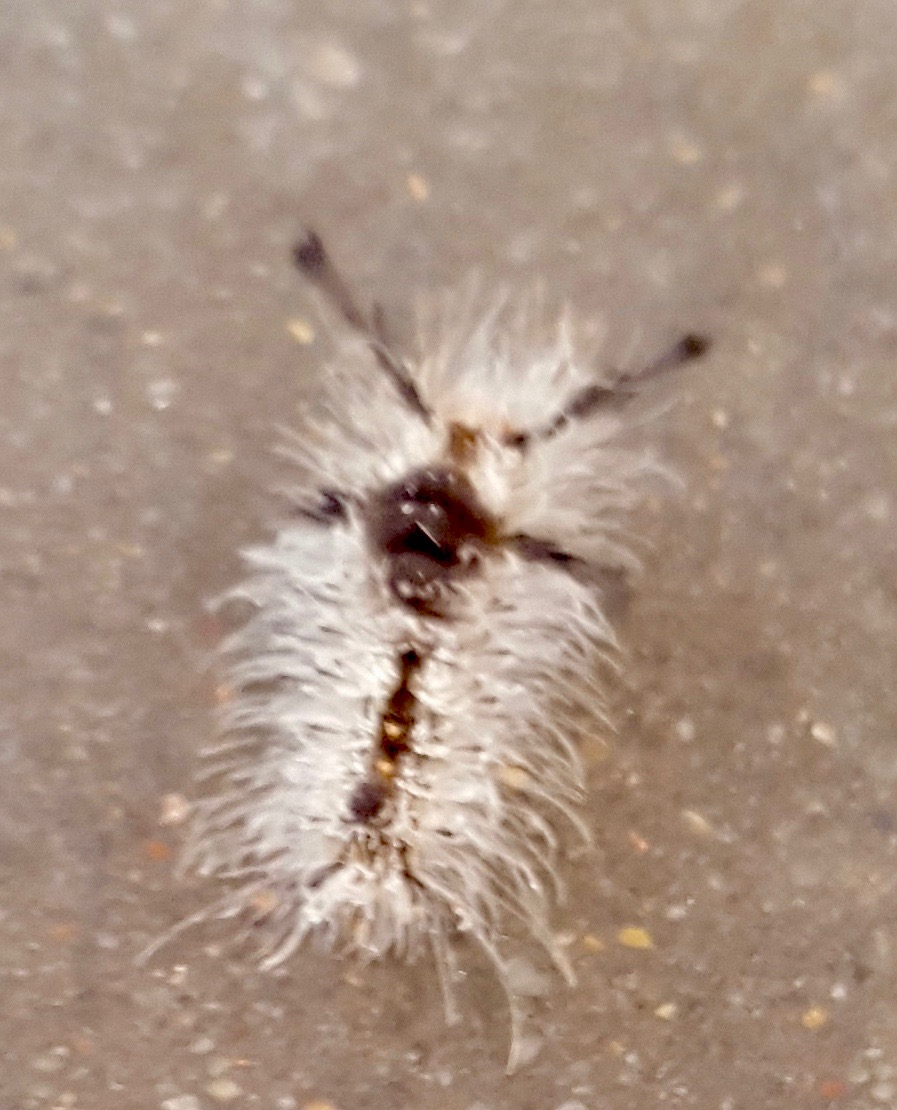 Tussock Moth Caterpillar (possibly <i>Dasychira meridionalis</i>)
